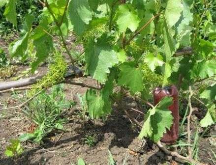 хвороби винограду Мілдью