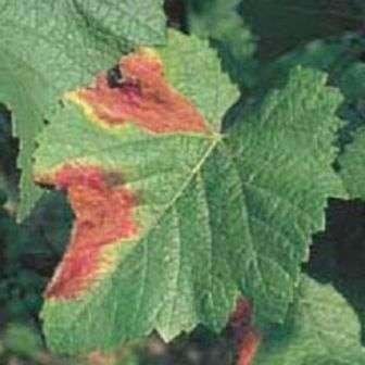 Краснуха листя
