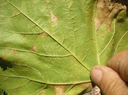 хвороба винограду Мілдью