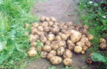 Стор посадки картоплі у 2017 році