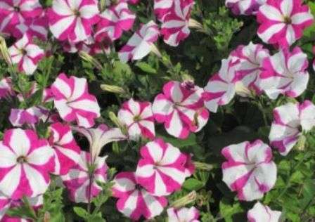 на клумбі біло-рожева петунія фото