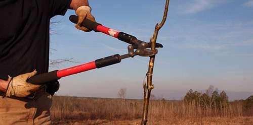 Перевірений спосіб посадки груші