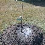 Як правильно посадити грушу