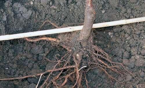 Як правильно посадити грушу.Спосіб посадки груші