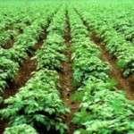 Строки посадки картоплі у 2018 році