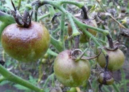Боротьба з фітофторою на помідорах