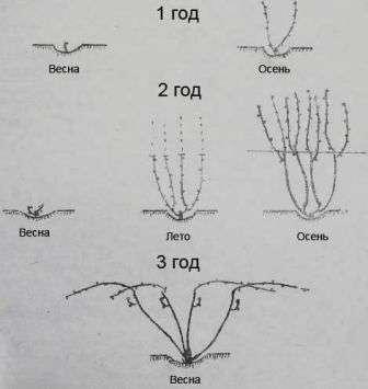 Прискорене формування винограду
