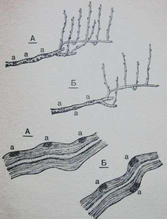 розташування ран при обрізанні на старій деревині