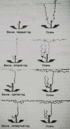 Штамбова формування винограду