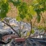 Укриття винограду