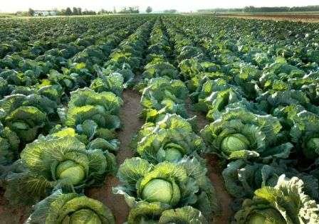 Урожай збирають при сухій сонячній погоді.