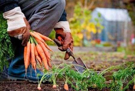 Викопувати моркву потрібно акуратно, щоб не пошкодити шкірку.