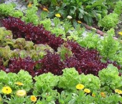 Вирощування листя салату в теплиці
