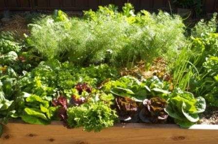 Основи вирощування листя салату
