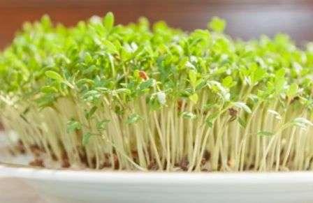 Вирощування салату взимку в умовах теплиці