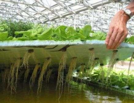 Вирощування салату в вазонах і ящиках.