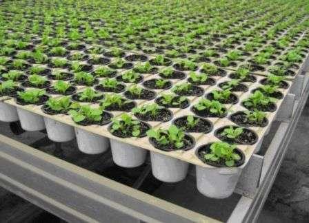 Вирощування салату в теплиці з іншими рослинами