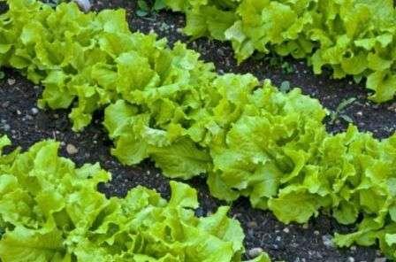 Вирощування салату в теплиці