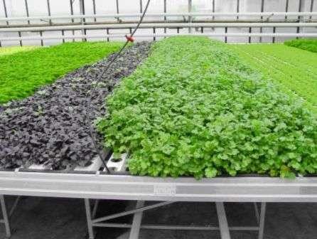 Боротьба з шкідниками та хворобами листя салату