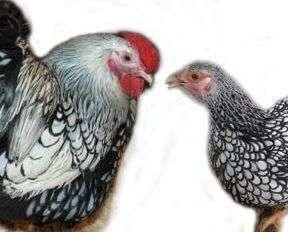 Кури породи віандот