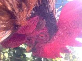 Єреванські червоні кури