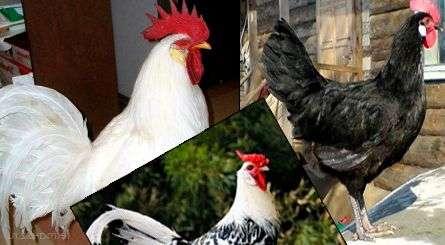 Яєчні породи курей