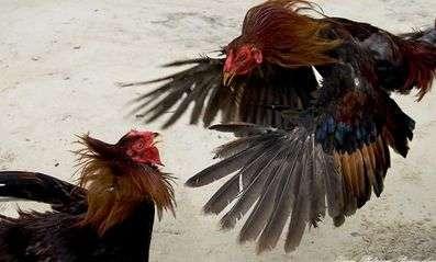 Індійська бійцівська порода курей