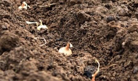Посадка цибулі на зиму, коли садити цибулю
