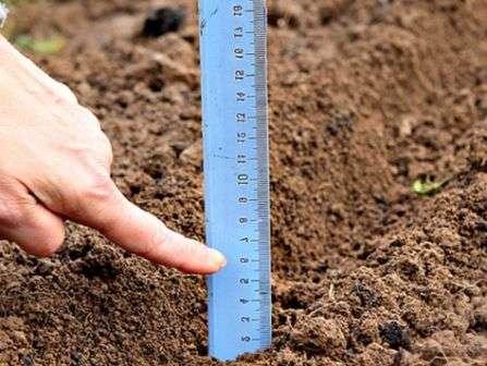 Як садити цибулю на зиму
