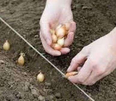 Коли садити цибулю на зиму