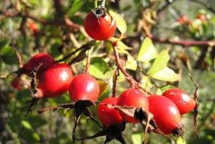 Шипшина лікарська рослина