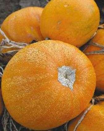 Кущовий помаранчевий