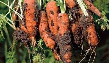 Терміни збирання моркви