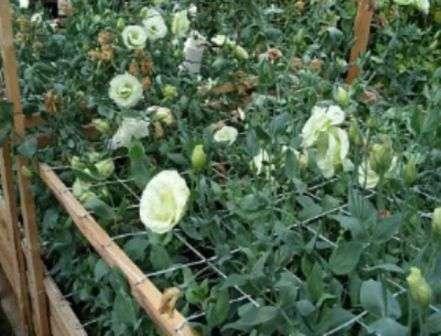 Вирощування цибулинних квітів в теплиці