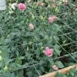 Вирощування квітів в теплиці