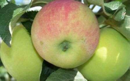 Зривати плоди з гілки потрібно разом з плодоніжкою.