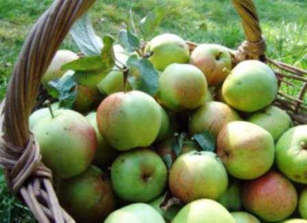 Кидати яблука не можна - побиті швидко почнуть псуватися.