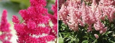 фото квітки астильби