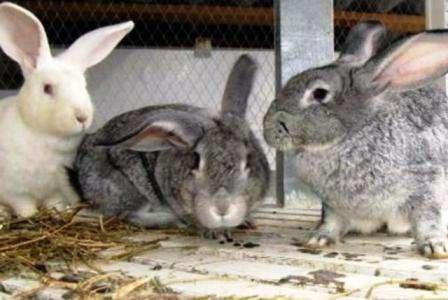 Чим можна годувати кролів