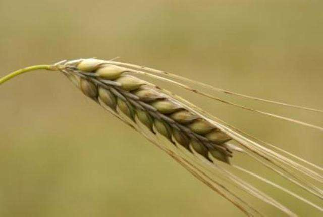 Технологія вирощування озимого ячменю
