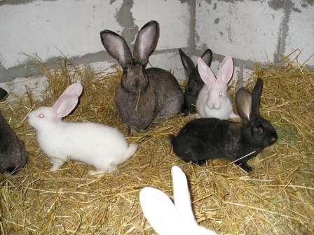 Помилки при розведенні кролів