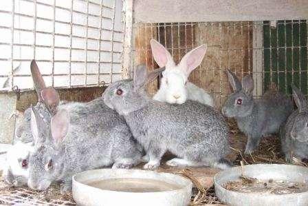 Кролівництво розведення кролів