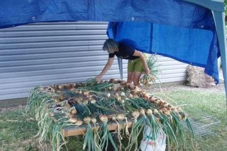 Як зберігати цибулю в дома