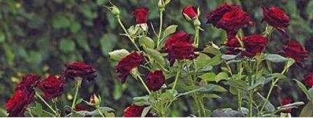 Догляд за трояндами на зиму