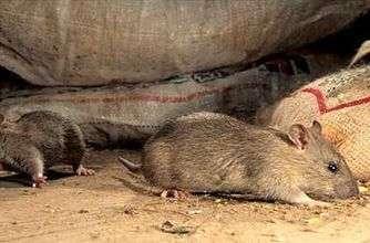 Як боротися з мишами в будинку та на дачі