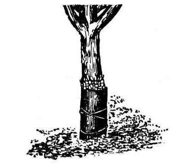 Захист плодових дерев від зайців і гризунів