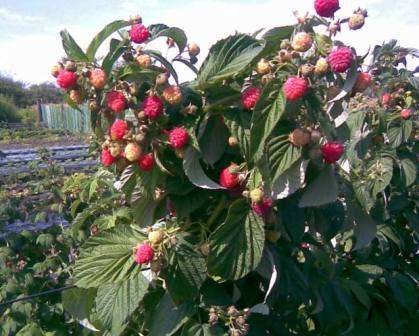 Ремонтантна малина восени посадка, догляд, обрізка на зиму