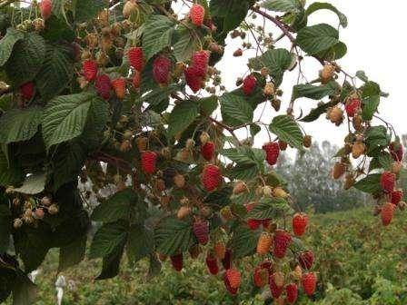 Ремонтантна малина восени посадка, догляд, обрізка на зиму, вирощування, опис сорту