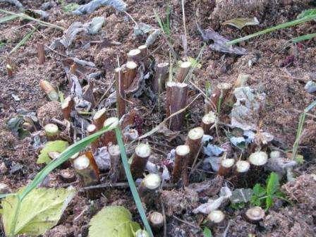 восени посадка сортів ремонтантної малини, догляд, обрізка на зиму, вирощування, опис сорту