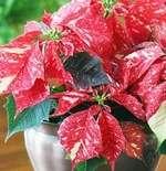 Sonora White Glitter - рослина з білими плямами та червоними листами.